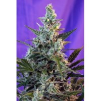 Purchase Sweet Skunk Auto
