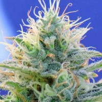 Purchase AUTO GHOST OG
