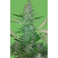 Purchase BIG LOW - FEM. AUTO - 5 UND. (SEEDS OF LIFE)