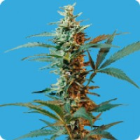 Purchase NORDIKA - FEM. AUTO - 5 UND. (SEEDS OF LIFE)