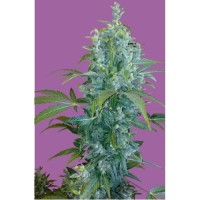 Purchase KABALA - FEM. AUTO - 5 UND. (SEEDS OF LIFE)