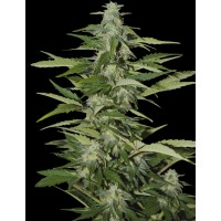 Purchase HINDIANA - FEM. AUTO - 5 UND. (SEEDS OF LIFE)