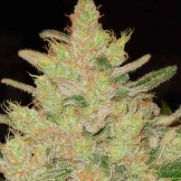 Purchase BLUEBERRY GHOST OG