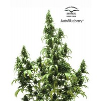 Purchase AUTO BLUEBERRY