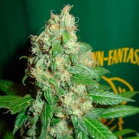 Purchase Ac Diesel  - 5 seeds