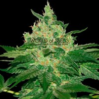 Purchase Afghan Kush Regular - 10 seeds