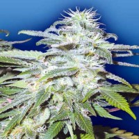 Purchase Afghanica - 10 seeds