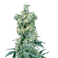 Purchase AMERICAN DREAM REGULAR (SENSI SEEDS)