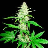 Purchase  Amnesia Ganja Haze - 3 seeds