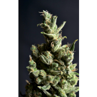 Purchase AMNESIA 5 - 3 SEEDS