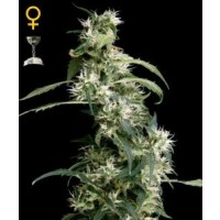 Purchase ARJAN´S ULTRA HAZE #2