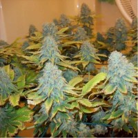 Purchase AURORA INDICA FEM 5 SEEDS