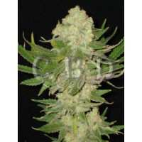 Purchase Auto white 6 seeds