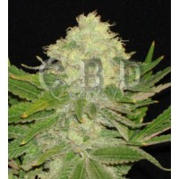 Purchase Auto white 3 seeds