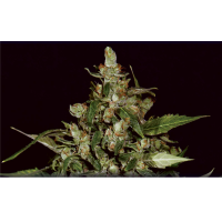 Purchase AUTO WIDOW 6 UNIDS (CBD SEEDS)