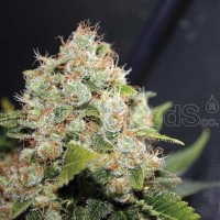 Purchase BCN SOUR DIESEL