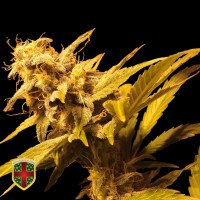 Purchase BIG MARLEY - 5 UNDS FEM - ALL IN MEDICINAL