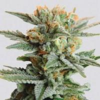 Purchase Blueberry Kush Auto 5 Seeds
