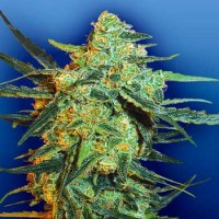 Purchase Blueberry Skunk - 5 seeds