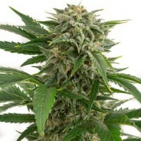 Purchase BUBBA KUSH AUTO