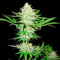 Purchase  Cali Gangsta Kush - 3 seeds