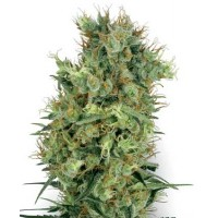 Purchase CALI ORANGE BUD REGULAR - 10 SEEDS (WHITE LABEL)