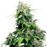 Purchase 10 UND REG - CALIFORNIAN INDICA (SENSI SEEDS)