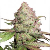 Purchase CBD Auto Charlotte's Angel