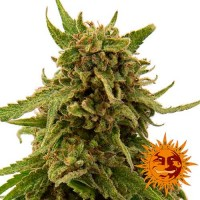 Purchase CBD CRITICAL CURE
