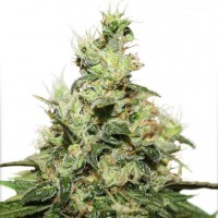 Purchase CBD Kush Fem - 3 seeds (Dutch Passion)