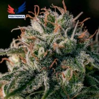 Purchase Crazy Lazy - 5 seeds