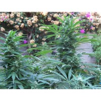 Purchase 5 UND - CRIMINAL JACK - FEM (BIOHAZARD SEEDS)