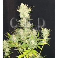 Purchase Critical 3 seeds
