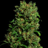 Purchase CRITICAL VIP 5 Seeds (VIP SEEDS)