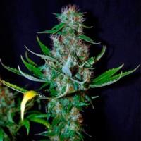 Purchase  Diamond Head - 5 seeds