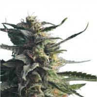Purchase DIESEL GIRL 3 UND. FEM (HERO SEEDS)