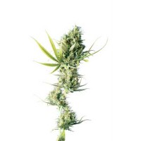 Purchase DURBAN REGULAR (SENSI SEEDS)