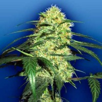 Purchase Dutch Delight - 5 seeds