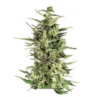 Purchase DUTCH CHEESE - 3 SEEDS
