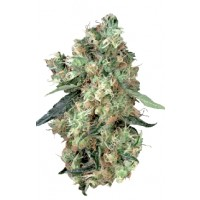 Purchase DUTCH HAZE 3 UND