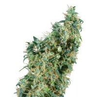 Purchase FIRST LADY REGULAR (SENSI SEEDS)