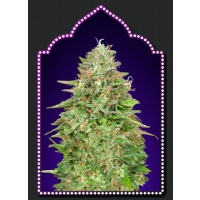 Purchase Critical Poison Fast Version - 5 seeds