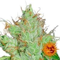 Purchase G13 HAZE REGULAR - 10 seeds