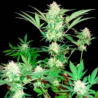 Purchase Goji Haze - 3 seeds