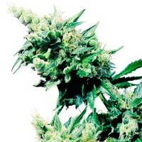 Purchase HASH PLANT REGULAR (SENSI SEEDS)