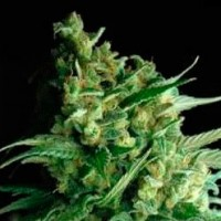 Purchase  Indica Xxl  - 5 seeds
