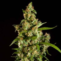 Purchase Jamaican Blueberry BX Regular