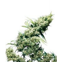 Purchase JAMAICAN PEARL REGULAR (SENSI SEEDS)