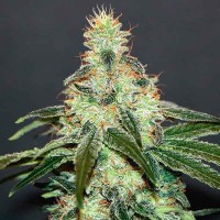 Purchase Mataro Blue CBD