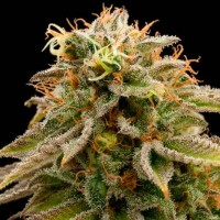Purchase LEMON THAI KUSH REGULAR
